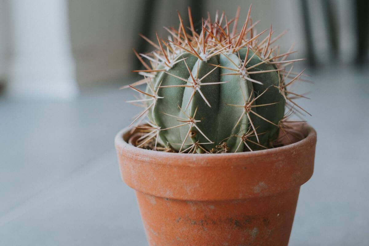 elle-cherie-cactus-plant