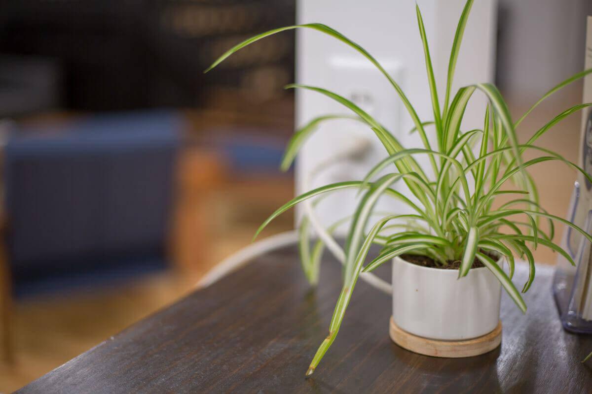 elle-cherie-dracena-plant