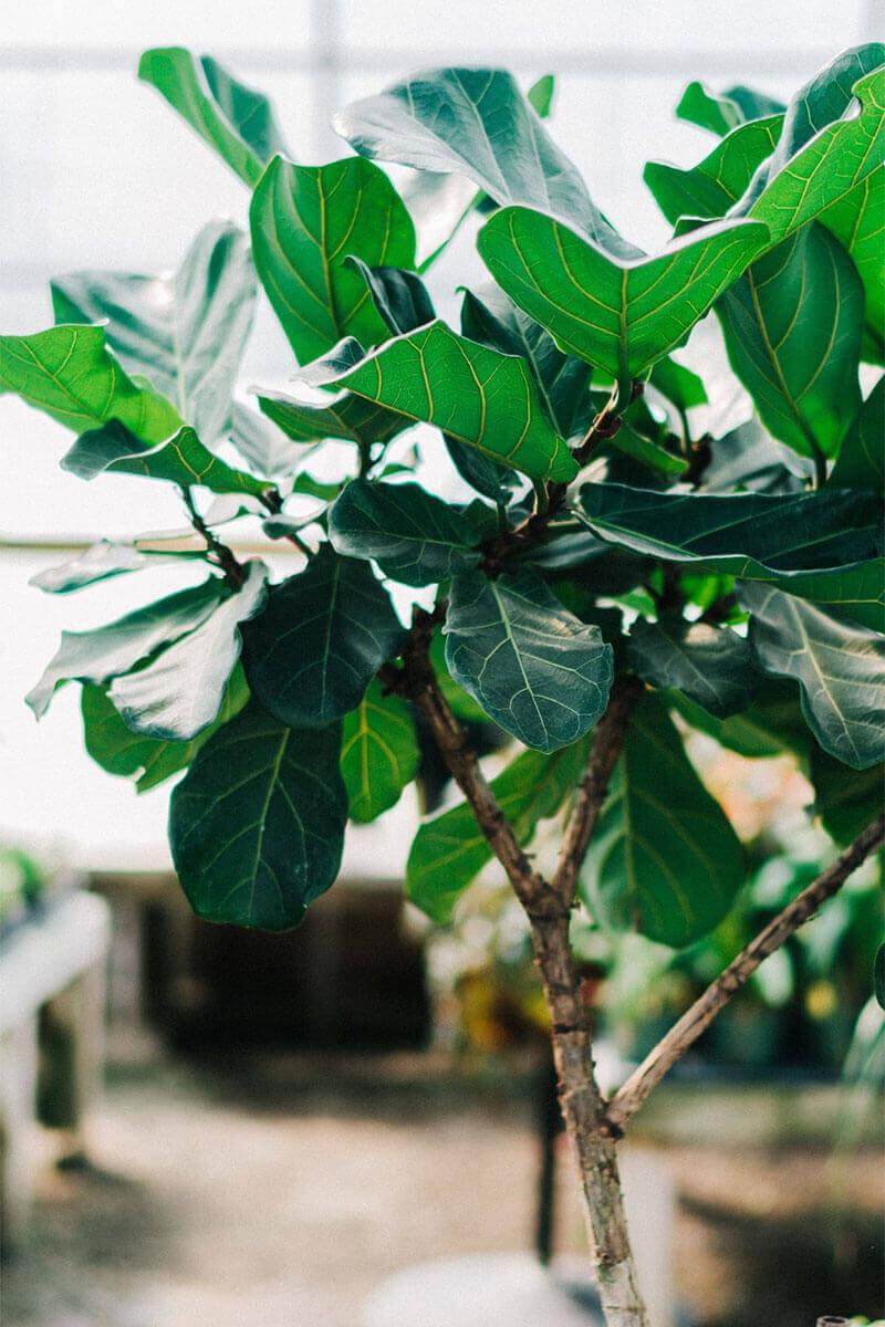 elle-cherie-fiddle-leaf-plant