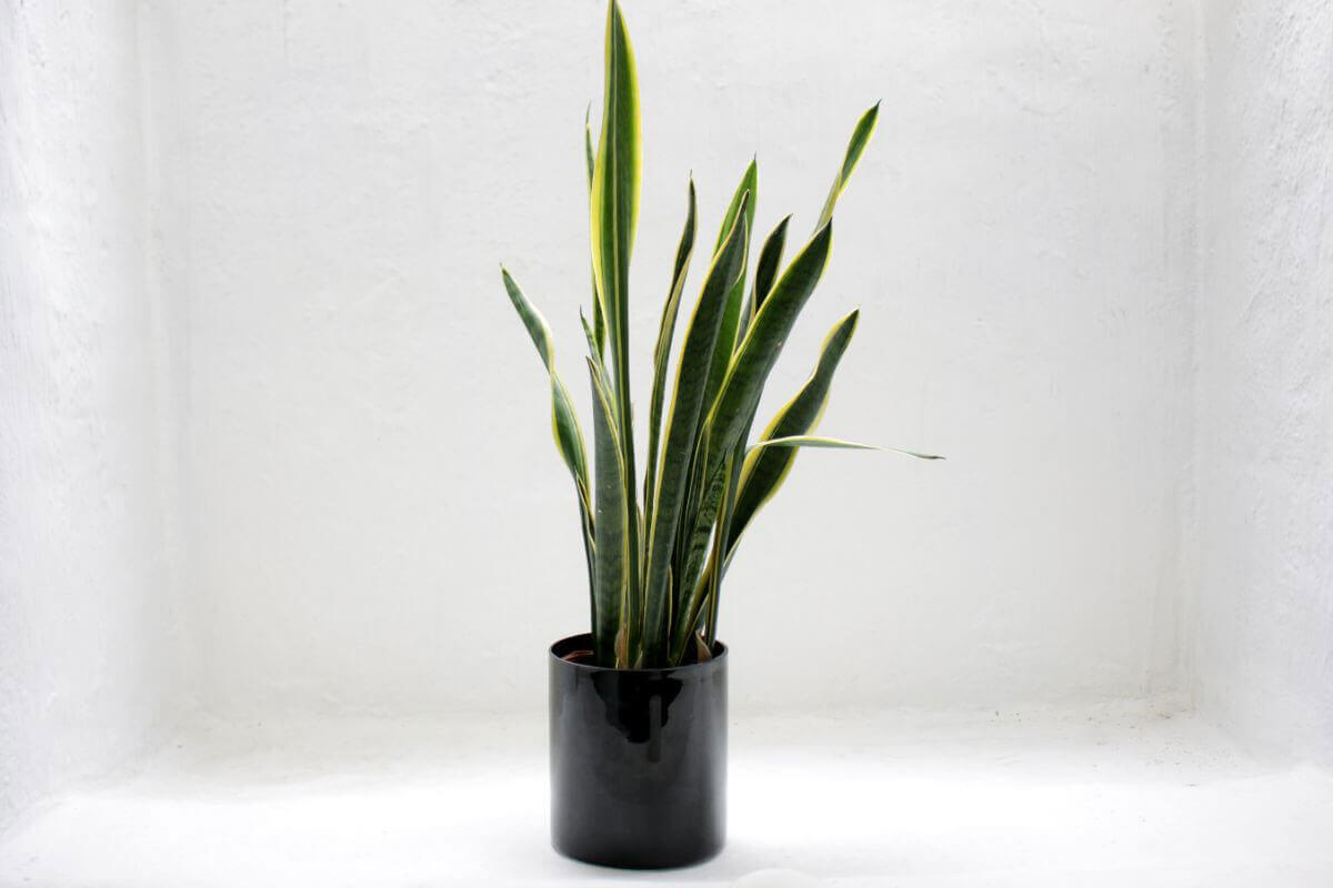 elle-cherie-snake-plant